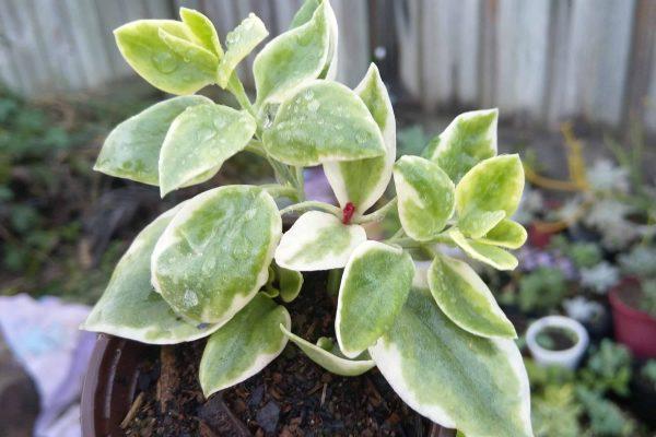 113 Succulents & Friends - Succulents December 2019