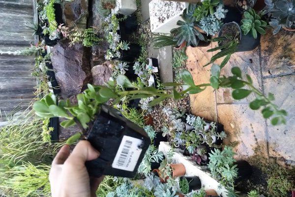 34 Succulents & Friends - Succulents December 2019