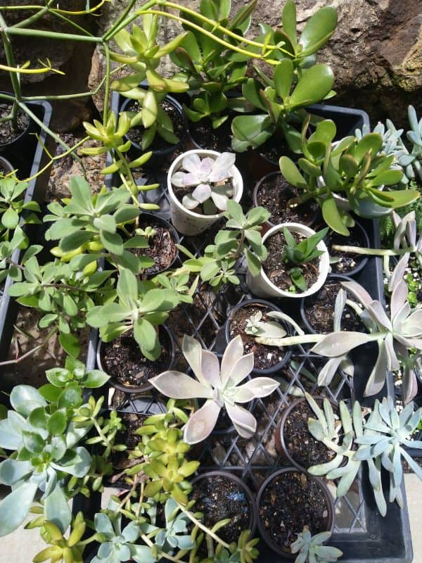 Limited Succulent stock for sale