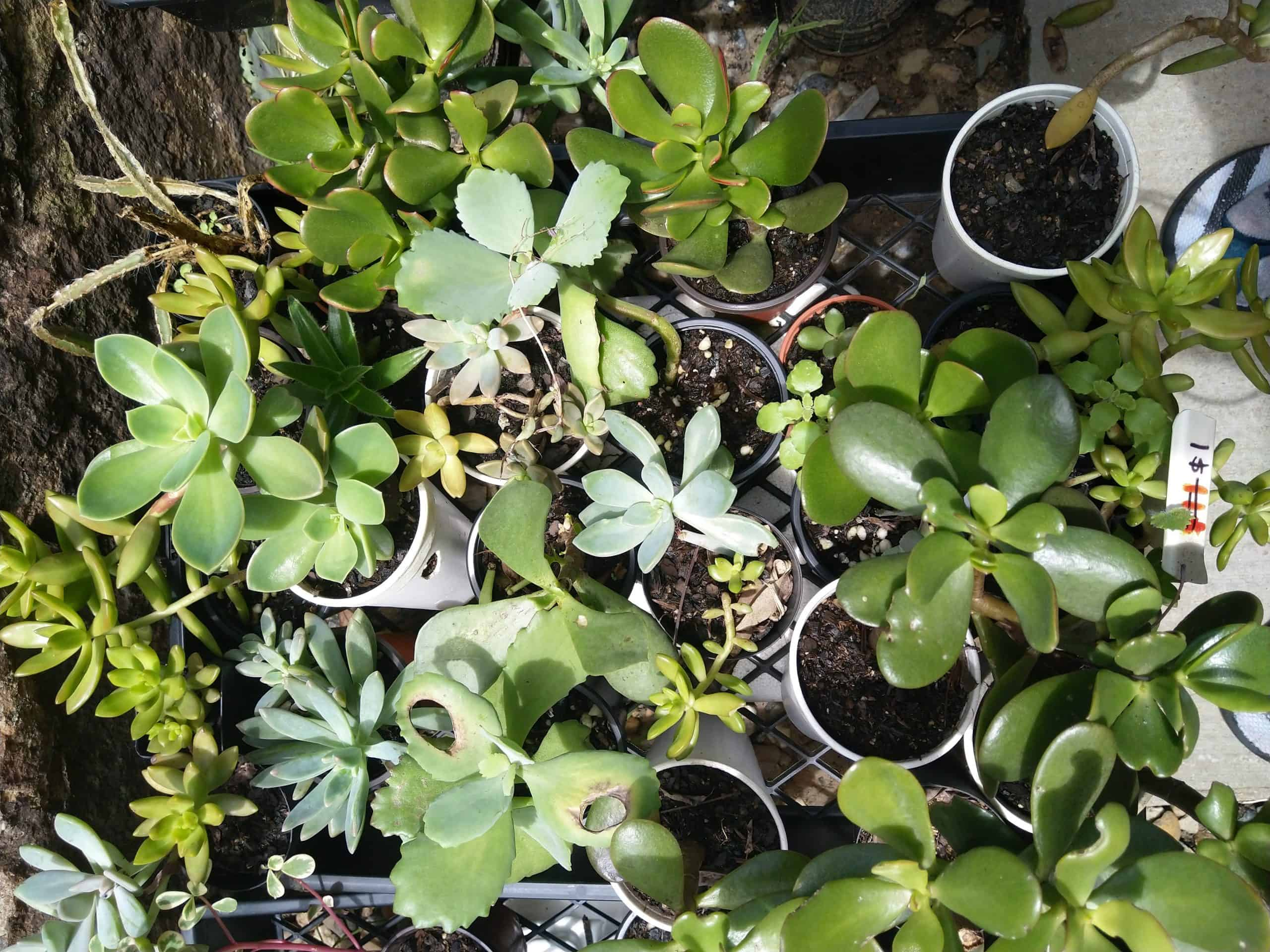 Limited Succulent stock - Only Four trays
