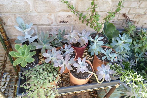 Succulents & Friends - Succulent Nursery Brisbane March 2020