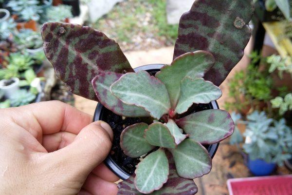 Kalanchoe Humilis aka Desert - Surprise Succulents - Succulents & Friends - May 2020