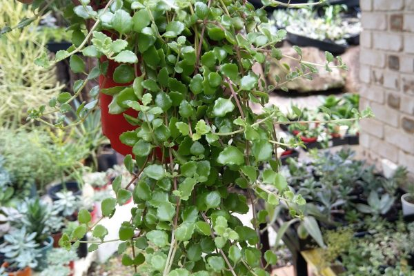 Pillow plant (2) - Succulents - Succulents & Friends - May 2020