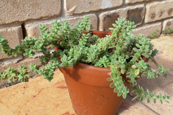 Succulents & Friends - Succulents 102 - Succulents & Friends - Succulents for Sale in Brisbane - May 2020 (18)