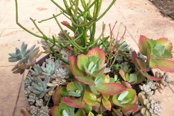 Succulents & Friends - Succulents for Sale - May 2020 - 26