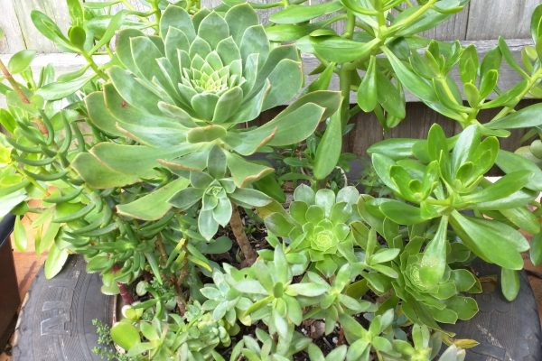 Succulents & Friends - Succulents for Sale - May 2020 - 29 10pm