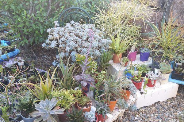Succulents & Friends - We're Open - Succulents 4 Sales - Succulents & Friends Brisbane - Succulents May 2020 24