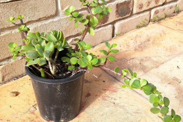 Succulents - Succulents & Friends for Sale in Brisbane - 25 May 2020 - 9am