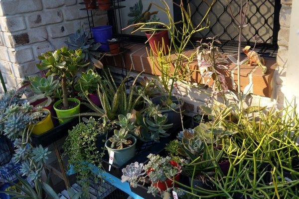 Succulents - Succulents & Friends for Sale in Brisbane - 29 May 2020 - 9am