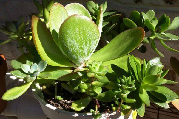 Succulents in Brisbane - Succulents & Friends - June 2020 26-2