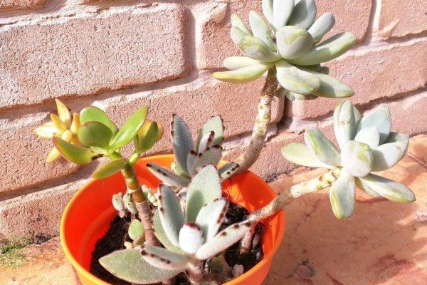 Succulents in Brisbane - Succulents & Friends - June 2020 26-4