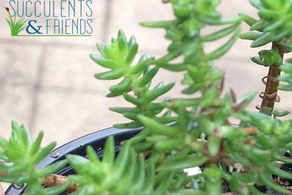 Succulents & Friends - Succulents for sale - August 2020.