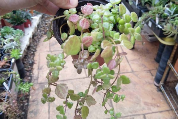 Succulents - Succulents & Friends - Succulents in Brisbane - September 2020 - 05