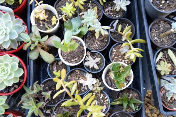 Succulents from Succulents & Friends - Succulent Nursery Brisbane September 2020 29-2