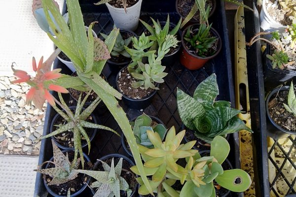 Succulents from Succulents & Friends - Succulent Nursery Brisbane September 2020 30-3