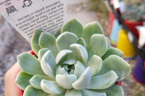 Echeveria potosina in 8cm pot - Succulents & Friends - October 2020 - 2