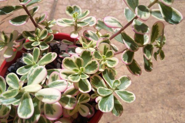 Succulents - December 2020 - Portulaca Variegated Sunjewels - Succulents & Friends - Brisbane