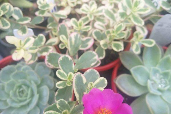 Succulents & Friends - Succulents - Succulents for sale - November 2020 - IMG_20201209_084814