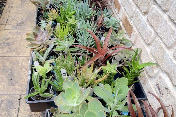Succulents for sale in Brisbane - March 2021 - Succulents & Friends - IMG_20210219_111148