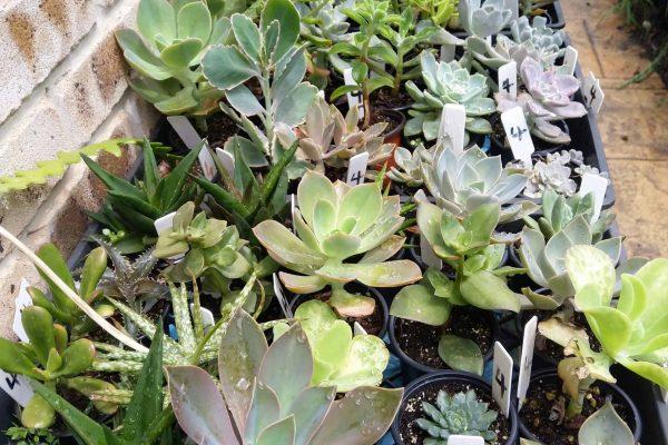 Succulents for sale in Brisbane - March 2021 - Succulents & Friends - IMG_20210219_111231