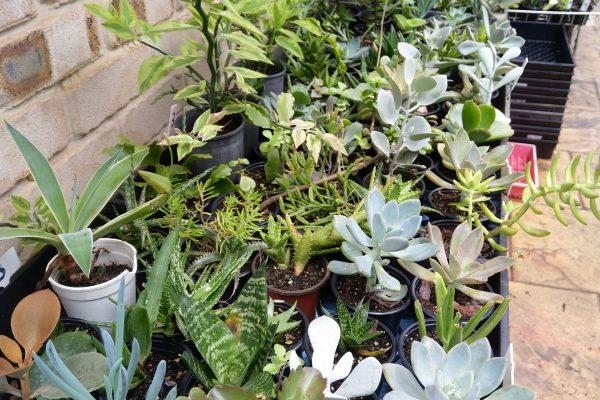 Succulents for sale in Brisbane - March 2021 - Succulents & Friends - IMG_20210219_111242