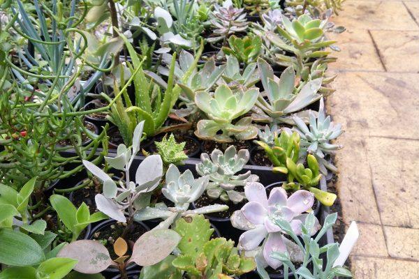 Succulents for sale in Brisbane - March 2021 - Succulents & Friends - IMG_20210219_111314
