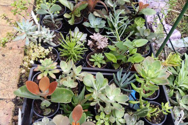 Succulents for sale in Brisbane - March 2021 - Succulents & Friends - IMG_20210219_111434