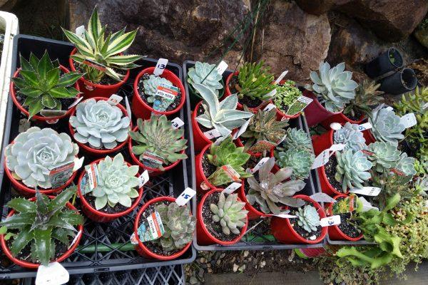 Succulents for sale in Brisbane - March 2021 - Succulents & Friends - IMG_20210219_111459